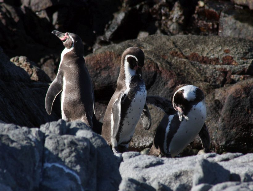 """Científico alertó que la población del pingüino de Humboldt está """"al límite"""""""