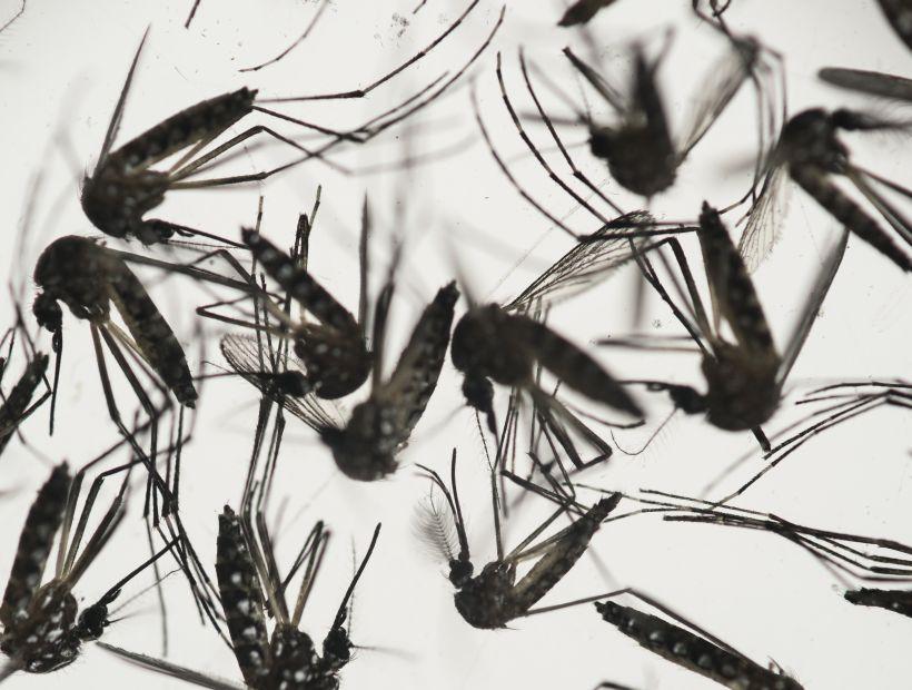 Ya son 150 las trampas instaladas para atrapar al mosquito que transmite el Zika en Tarapacá